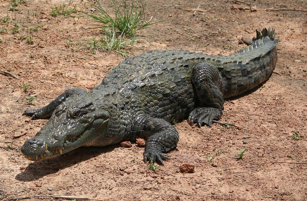Крокодил – происхождение, питание, интересные факты, фото и видео  - «как и почему»