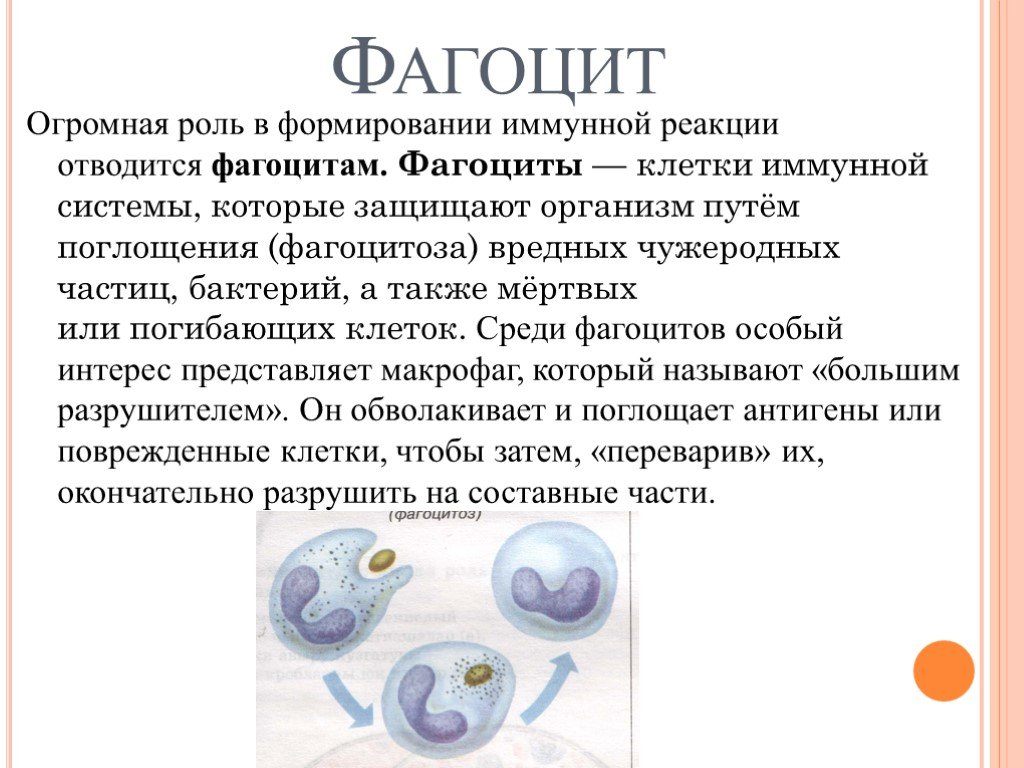 Макрофаги: общие сведения
