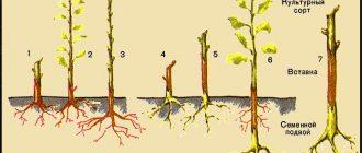Что такое подвой и как его вырастить? | в саду (огород.ru)