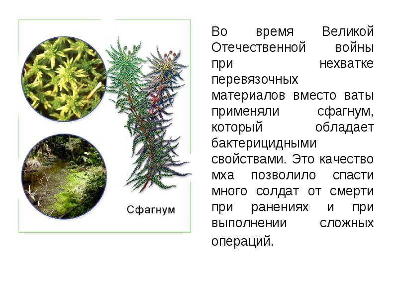 Сфагнум — википедия с видео // wiki 2