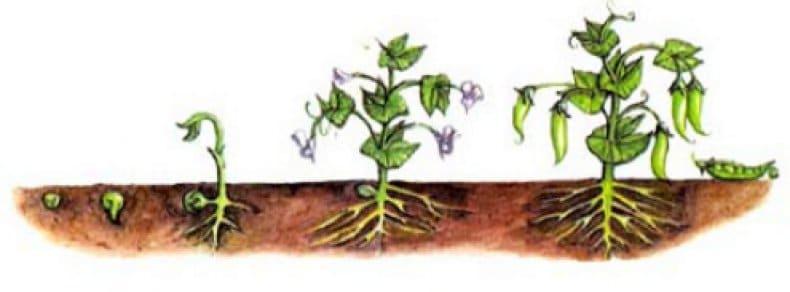 Что такое вегетация? когда у различных растений наступает период вегетации?