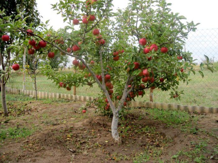 Подвой для яблони — какими они бывают и как вырастить