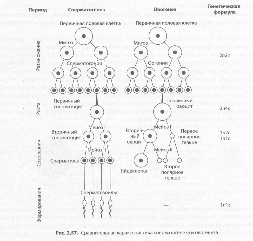 Овогенез и сперматогенез: что за процессы и чем они отличаются