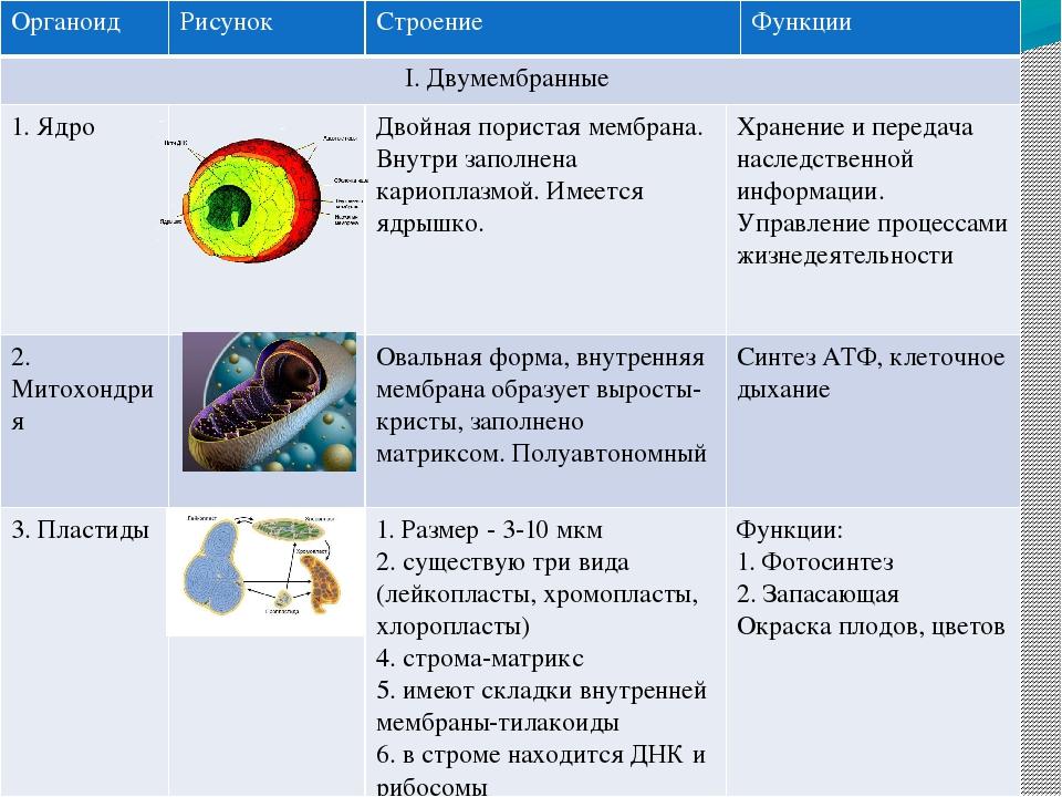 Характеристика и значение основных органелл клетки