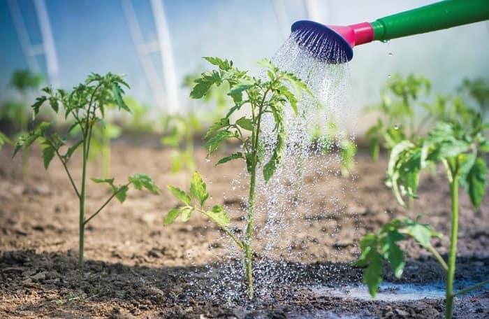 Как и когда подкормить огурцы мочевиной: сроки и правила полива, применение – сад и огород своими руками
