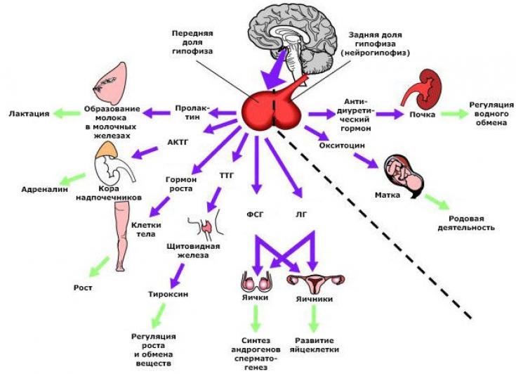 Что такое окситоцин. что такое окситоцин и когда он особенно нужен