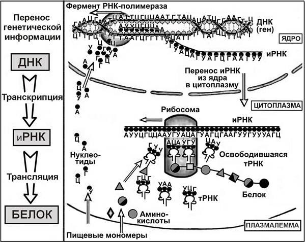 Что такое транскрипция в биологии, ее значение в жизнедеятельности организмов