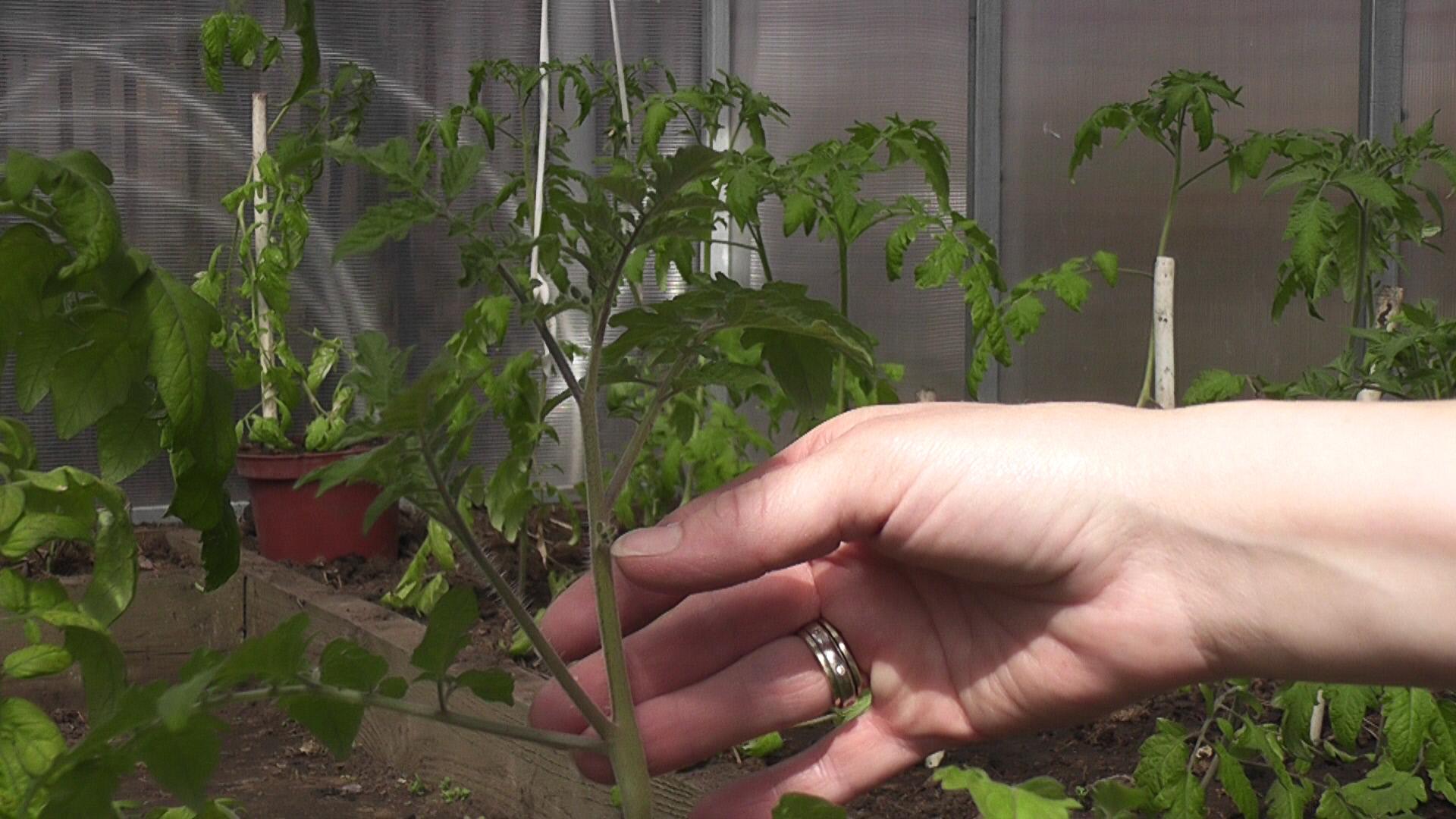 Удаляем пасынки на помидорах