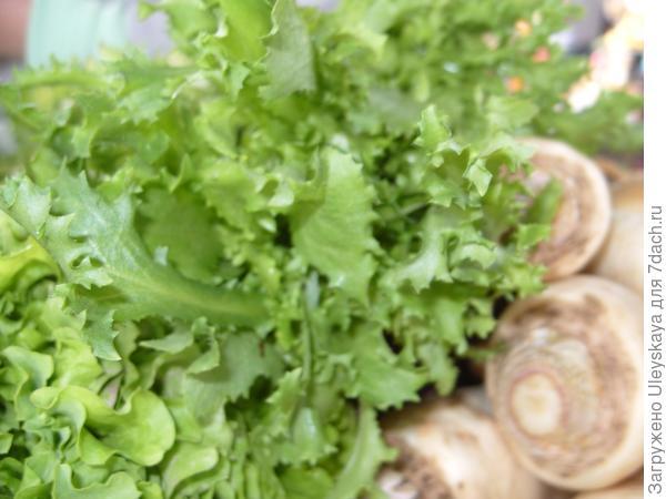 Эндивий (салатный цикорий) - посадка и уход, полезные свойства | сайт о саде, даче и комнатных растениях.