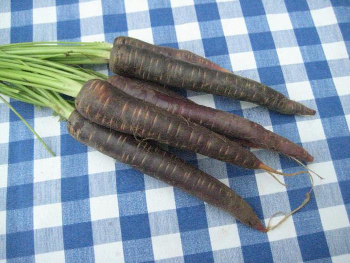 Скорцонера (козелец, черный корень): выращивание из семян в домашних условиях