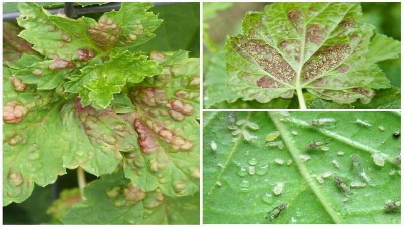 Болезни красной смородины: красные пятна на листьях