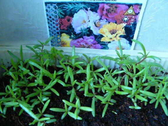 Портулак огородный: лечебные свойства и противопоказания