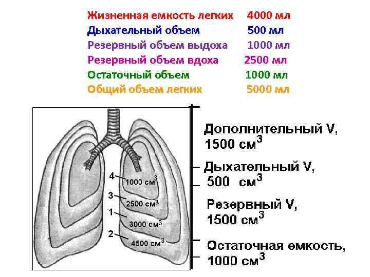 Для чего измеряют жизненную ёмкость лёгких