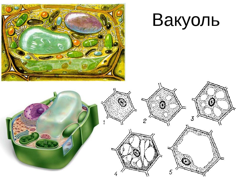 Вакуоль: строение и функции органеллы в клетках растений и животных