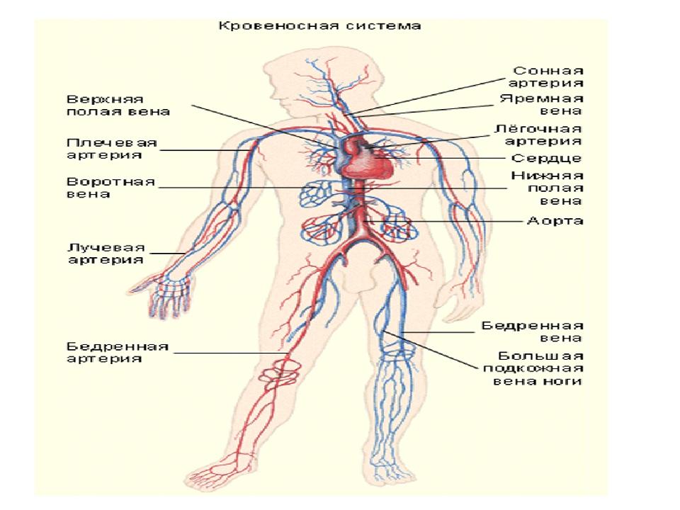 Вена (анатомия) — википедия. что такое вена (анатомия)