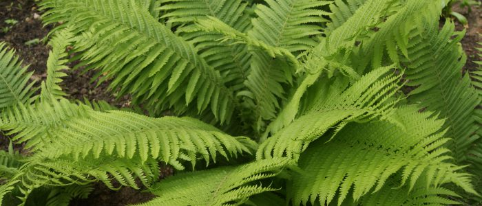 Папоротник – описание с фото растения; его свойства (польза и вред)