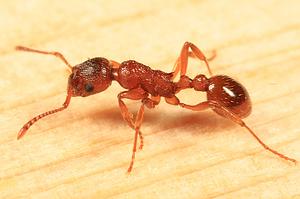 Кто такие «адские муравьи» и почему они так странно выглядят?