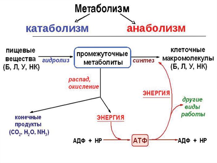 Катаболизм — википедия с видео // wiki 2