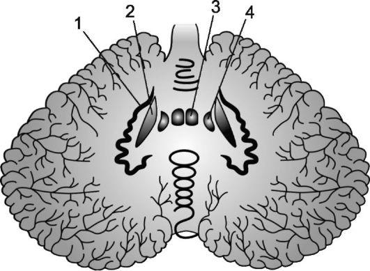 Мозжечок: какова его функция?
