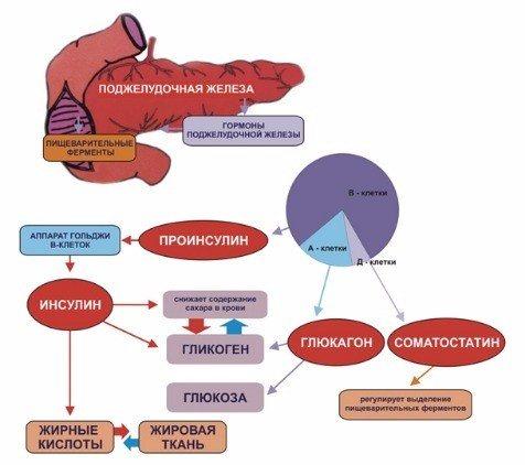 Инсулин: что это за гормон, где и как вырабатывается, функции