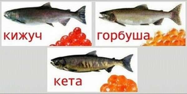 Кета – что за рыба, как выглядит, полезные свойства мяса и где водится