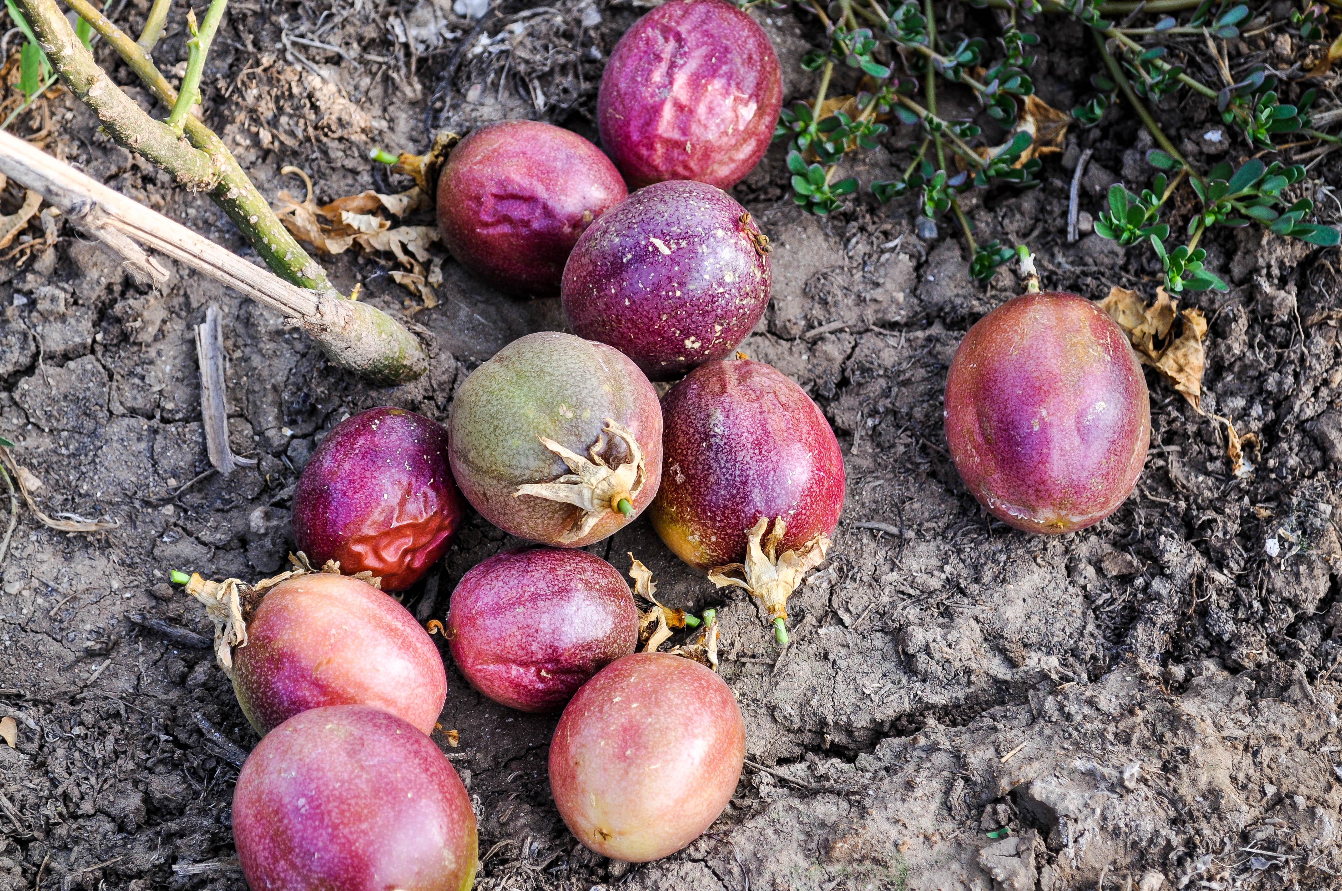 Что такое маракуйя и как ее едят. плод страсти, плод здоровья: все о маракуйе. как выглядит маракуйя