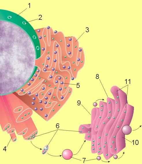Эндоплазматический ретикулум — википедия