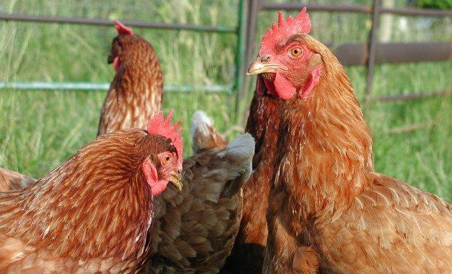 Курица (более 100 рецептов с фото) - рецепты с фотографиями на поварёнок.ру