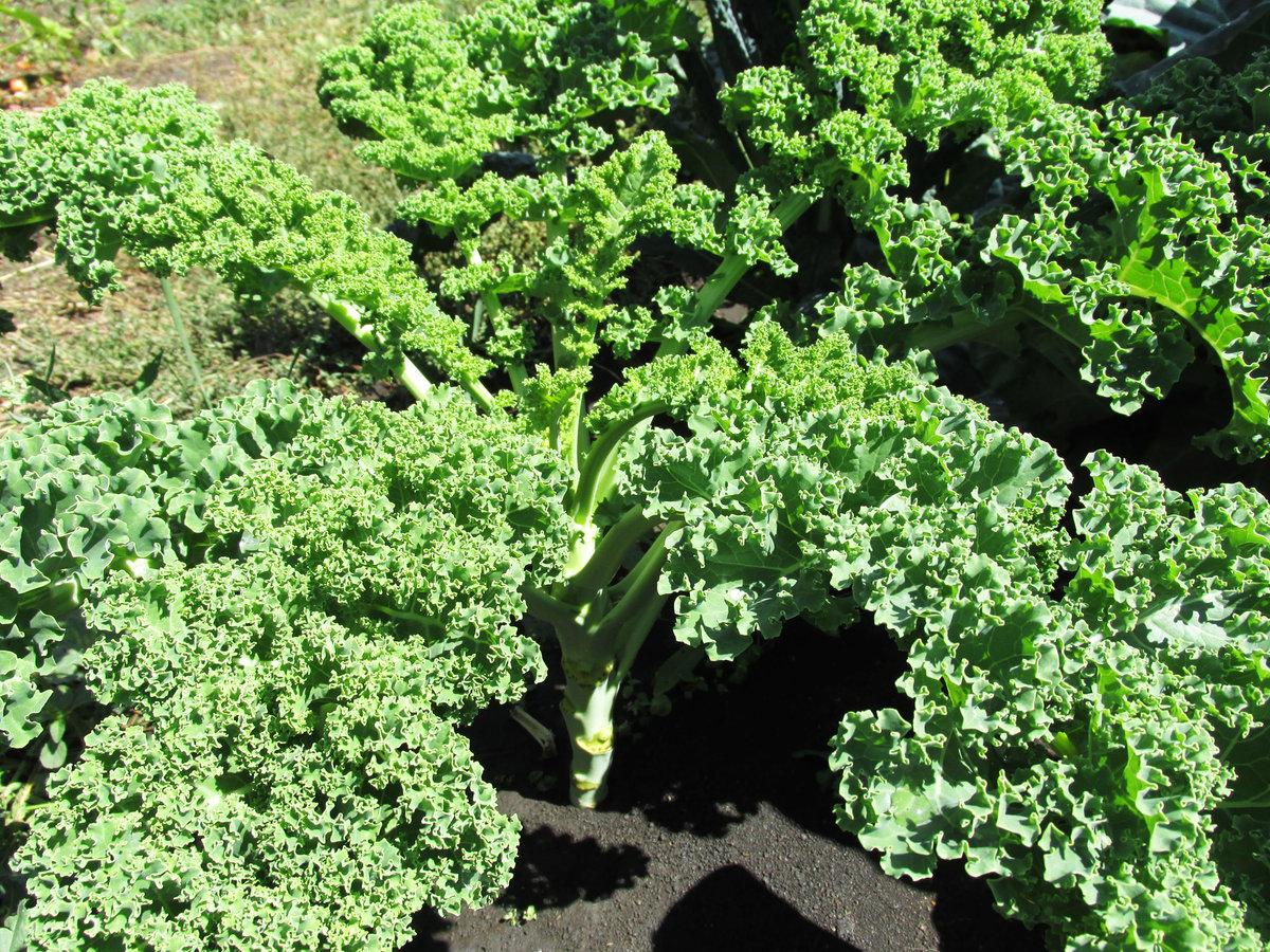 Капуста кейл: выращивание и уход за супер овощем