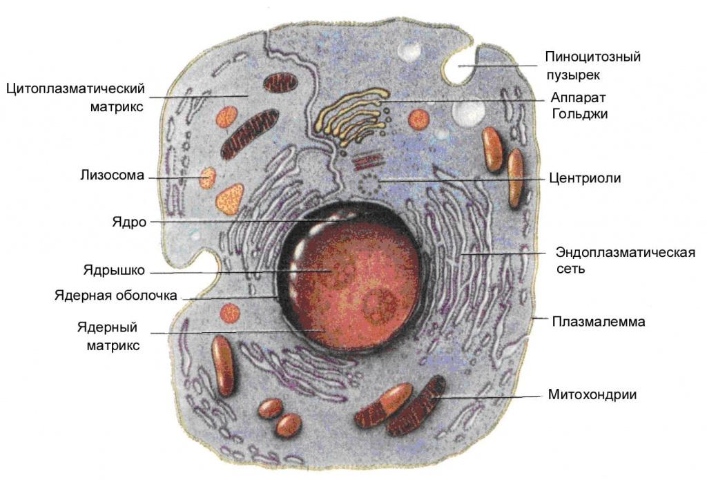 Эукариоты — википедия. что такое эукариоты