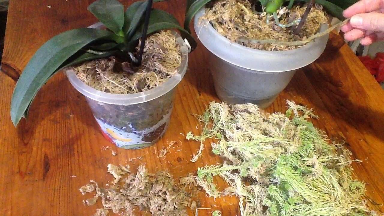 Мох сфагнум: описание, использование для комнатных растений. где растет сфагнум? - sadovnikam.ru