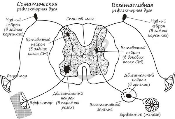 Схема рефлекторной дуги сгибательного рефлекса руки. понятие о рефлекторной дуге - доктор