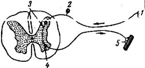 Что такое рефлекс и рефлекторная дуга?