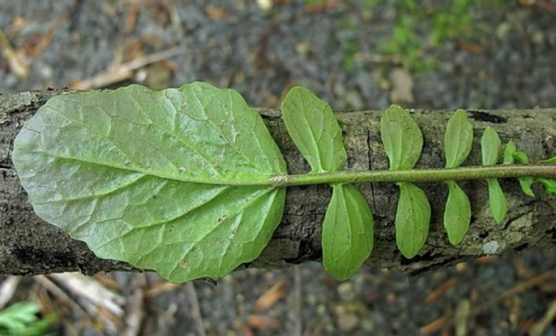 Лечебные свойства сурепки обыкновенной: как использовать сорняк-антиоксидант