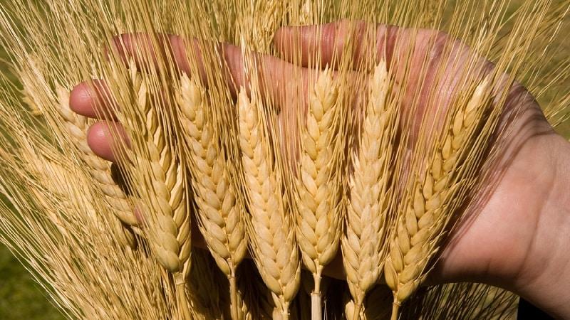 Крупа из пшеницы: фото, виды и названия пшеничной крупы, как называется из твердых сортов и дробленая, что еще делают, производят и получают из зерна