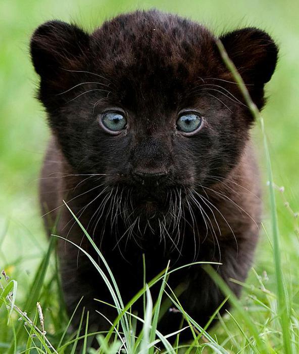 Животное черная пантера: описание, как выглядит, где живет, фото, видео