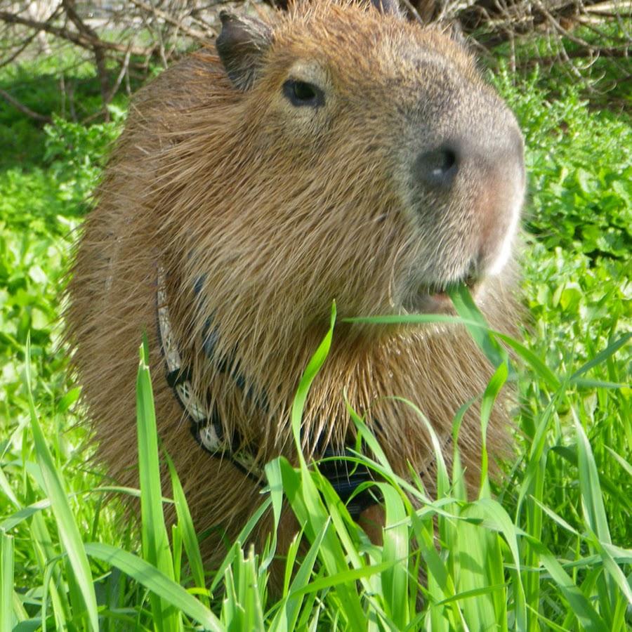 Капибара. где живет и полное описание животного - фото и видео