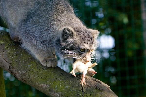 Животное манул – дикий кот степей и гор. описание и фото дикого кота манула