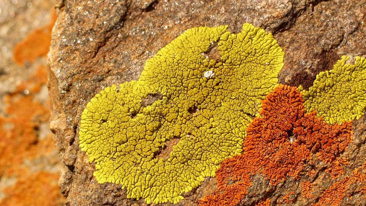 Отдел лишайники. общая характеристика и разнообразие лишайников | биология