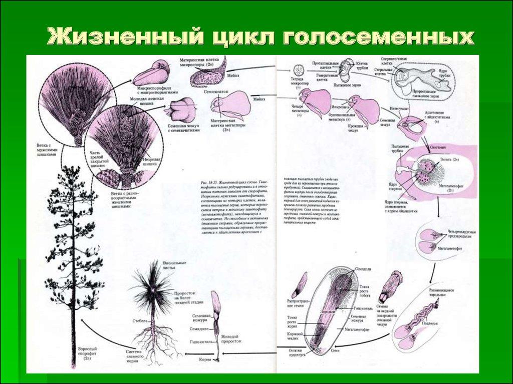 Голосеменные растения - размножение и характеристика
