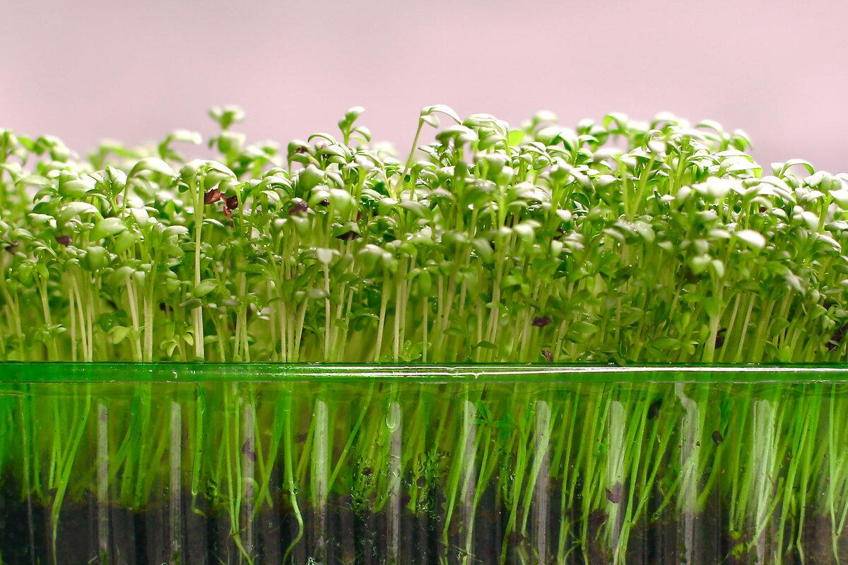 Что такое микрозелень? описание, особенности, выращивание и полезные свойства | сад и огород.ру