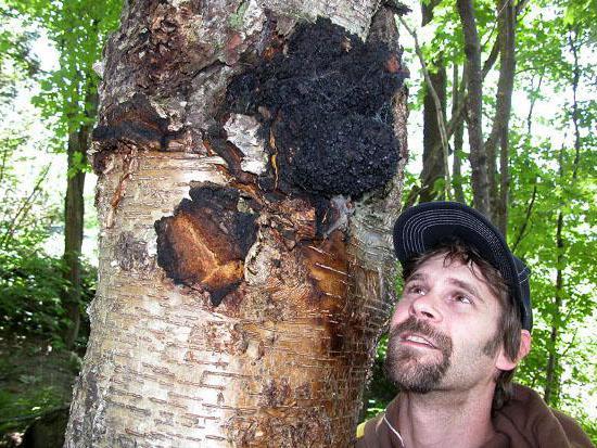 Чага — березовый гриб: лечебные свойства и противопоказания