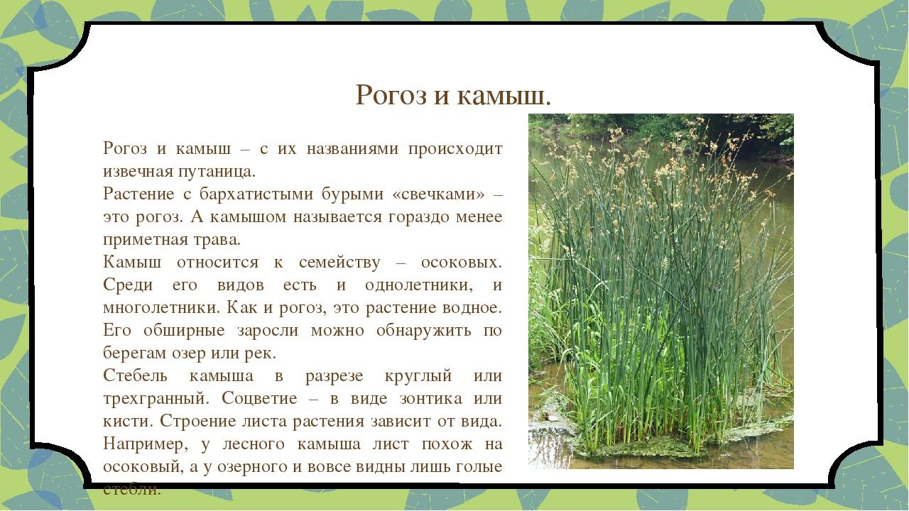 Что такое камыш: краткое описание с фото, виды, свойства и интересные факты