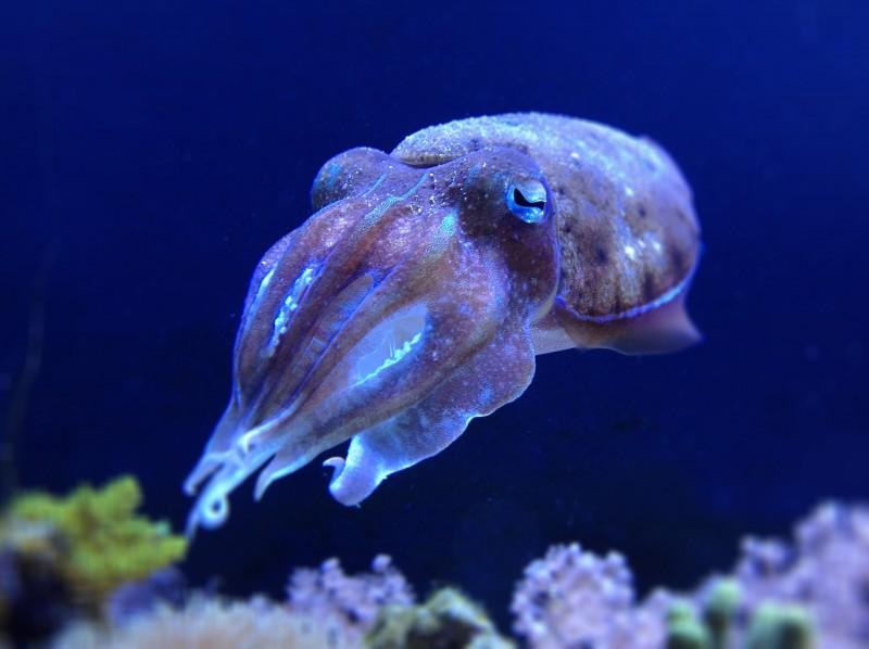 Каракатица - cuttlefish - qwe.wiki