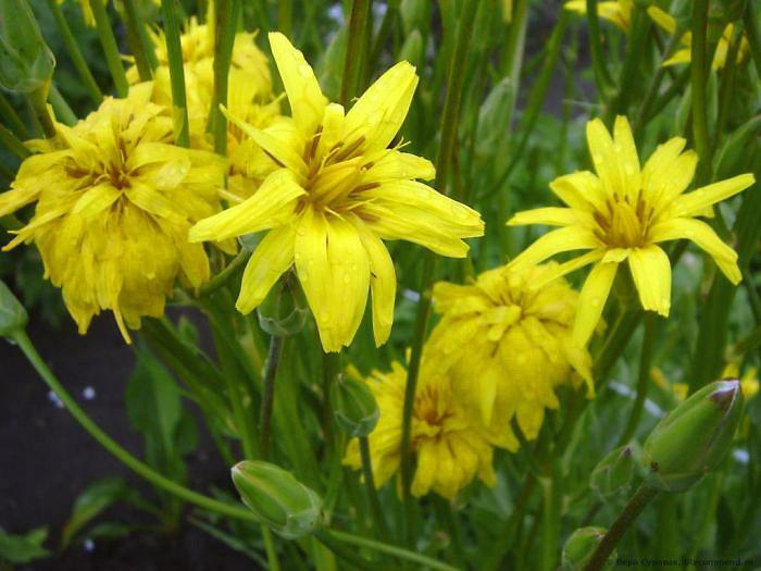 Выращивание и лечебные свойства скорцонеры — scorzonera hispanica
