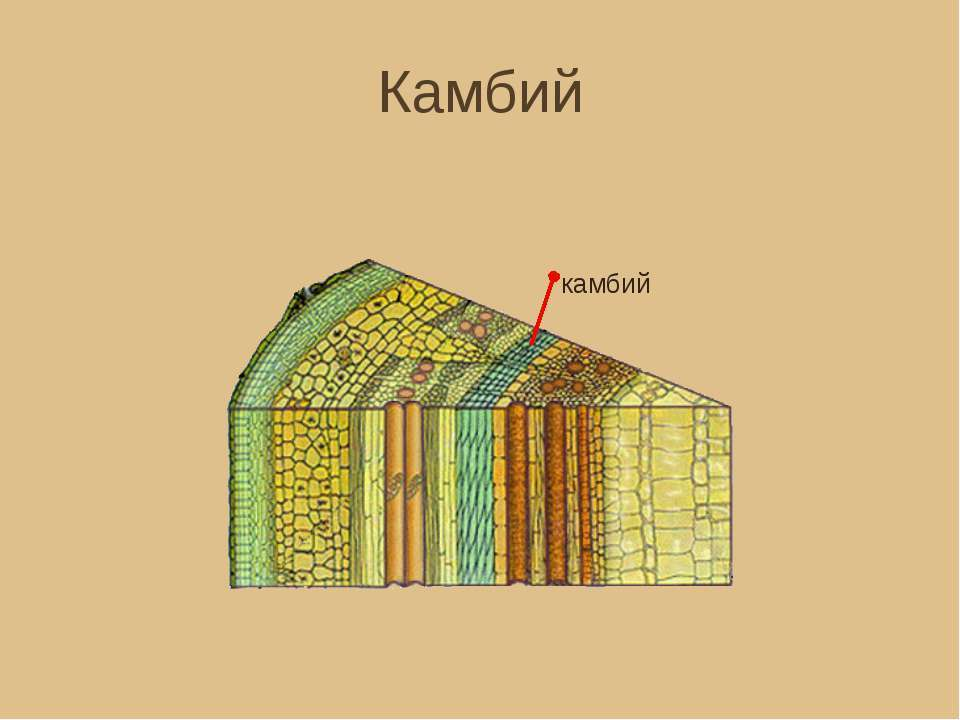 Камбий — википедия с видео // wiki 2
