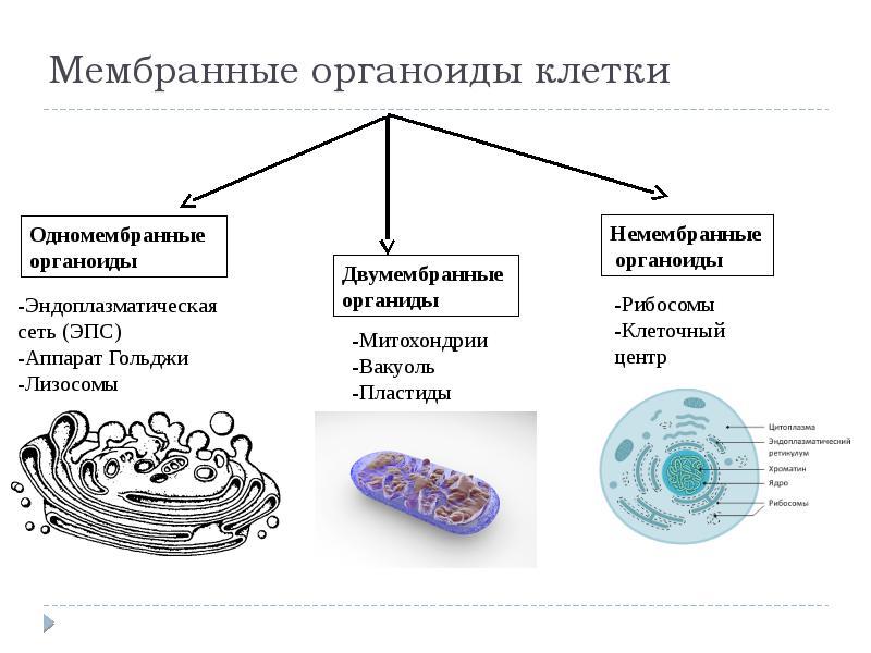 Органеллы