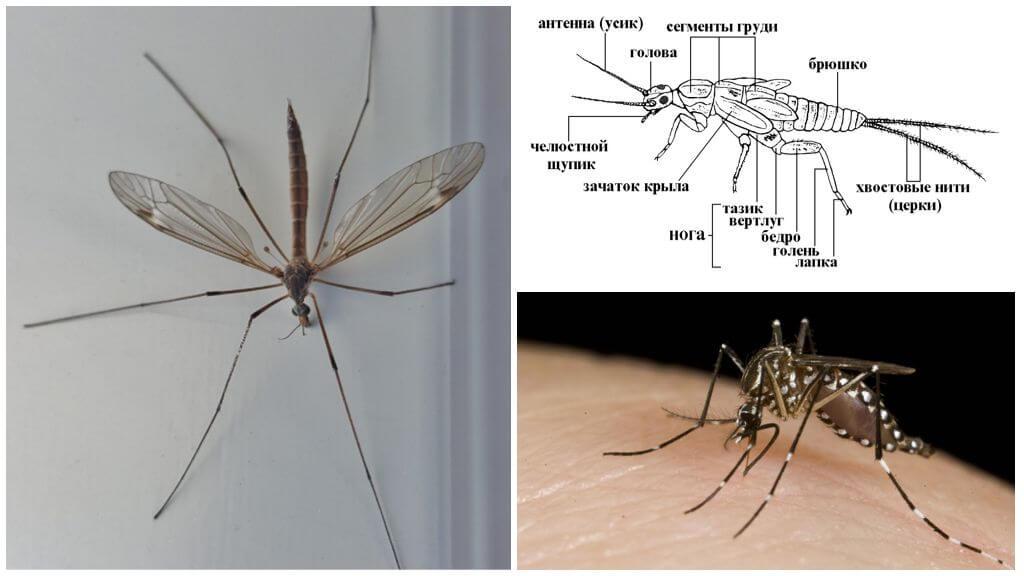 Комар обыкновенный — википедия. что такое комар обыкновенный
