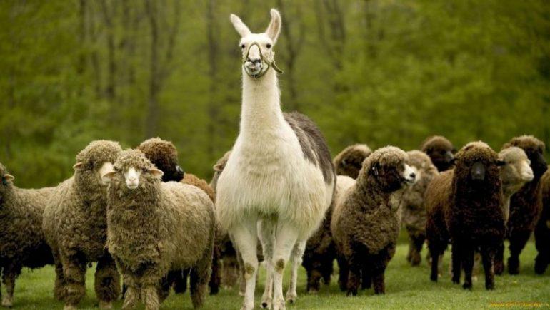 Животное лама: где обитает, описание, чем питается