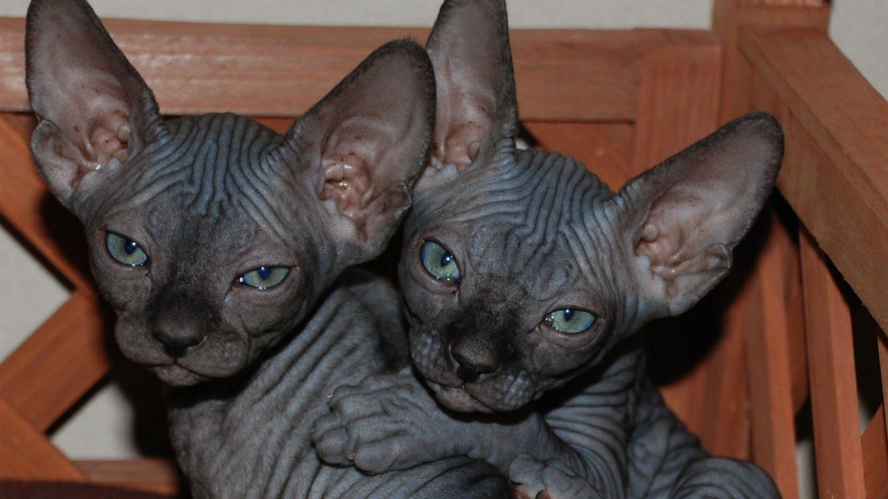 Кошка сфинкс: описание породы, виды, характер, советы по содержанию и уходу, фото